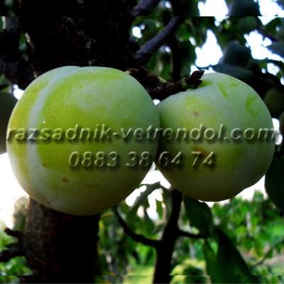 Овошки сливи сорт Зелена ренглота, бяла слива