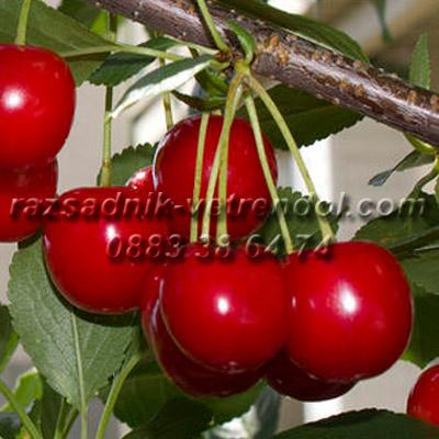 Овощни дръвчета вишна