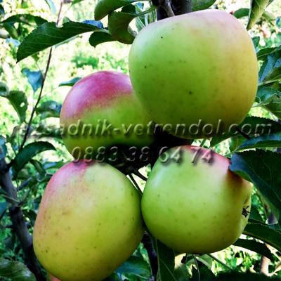 Ябълка сорт Айвания