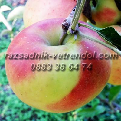 Ябълка сорт Джонаголд