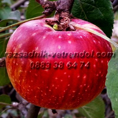 Ябълка сорт Карастоянка
