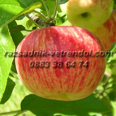 Ябълка сорт Молиз делишес