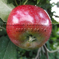 Ябълка сорт Прима