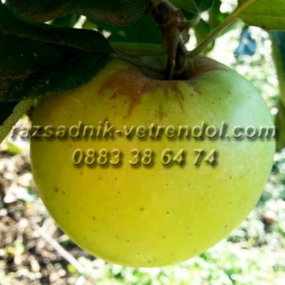 Ябълка сорт Шарден