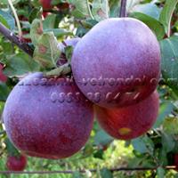 Ябълка сорт вистабела, петровка