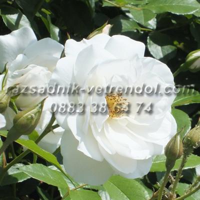 Бяла катерлива влачеща роза
