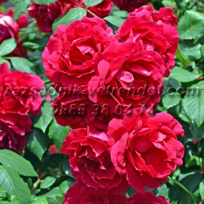 Червена катерлива влачеща роза