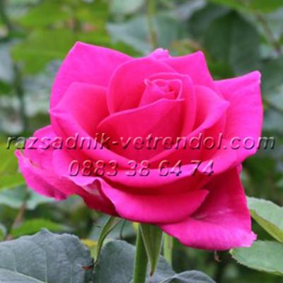 Храстовидна цикламена роза