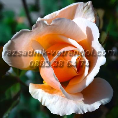 Храстовидна кремава бананова роза