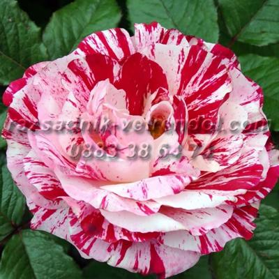 Двуцветна шарена роза - червено и бяло