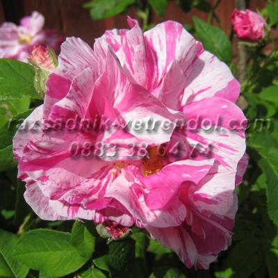 Двуцветна шарена роза - розово и бяло