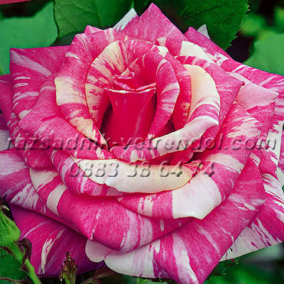 Двуцветна роза - бяло и розово