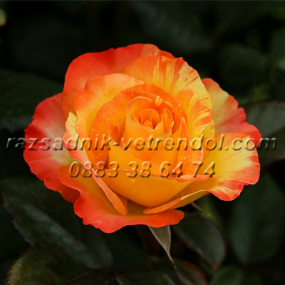 Оранжева храстовидна роза
