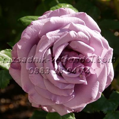 Храстовидна роза цвят Пепел от рози