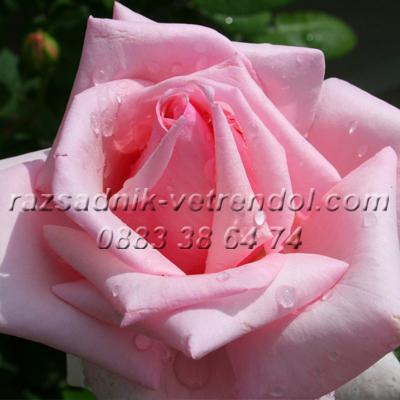 Розова храстовидна роза без бодли