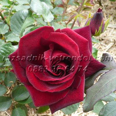 Тъмно червена храстовидна роза