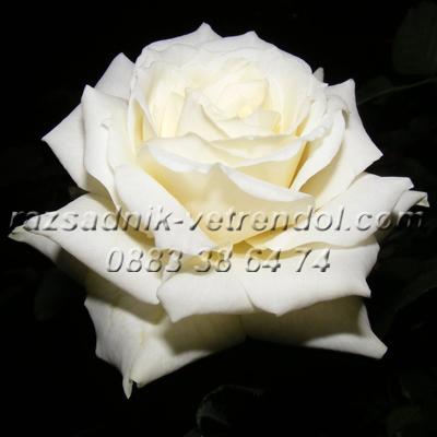 Бяла храстовидна роза