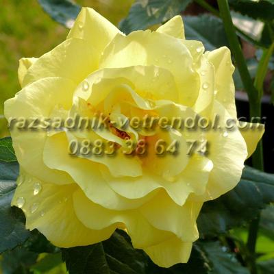 Жълта храстовидна роза