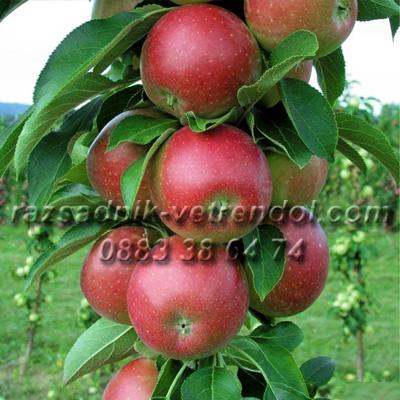 Дръвче колонна ябълка